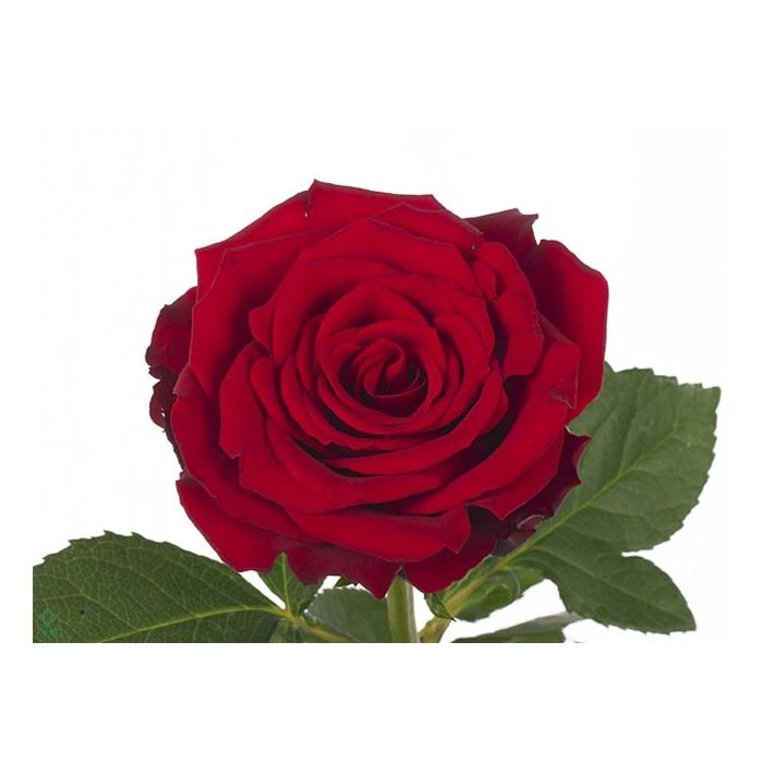 <h4>Rosa Gr. Upper Class</h4>