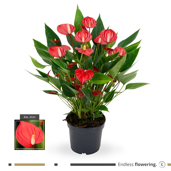 <h4>Anthurium andr. 'Mill Flowers Red'</h4>