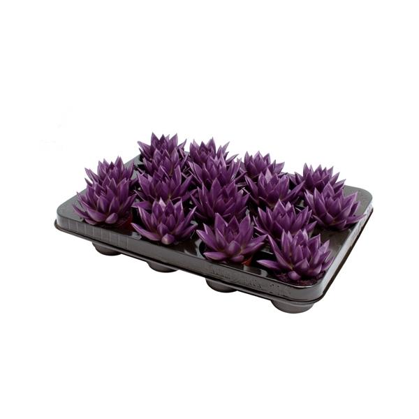 <h4>Echeveria coloured dark purple</h4>
