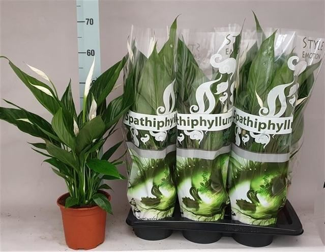 <h4>Spathiphyllum Sweet Silvio</h4>