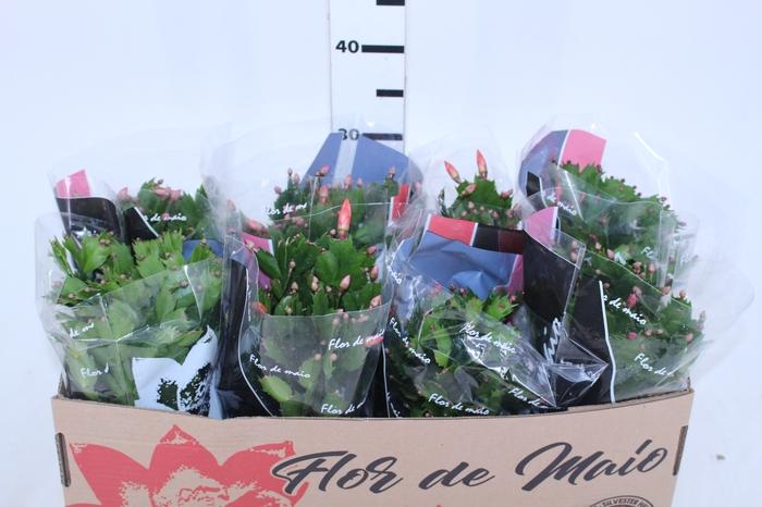 <h4>FLOR DE MAIO P15</h4>