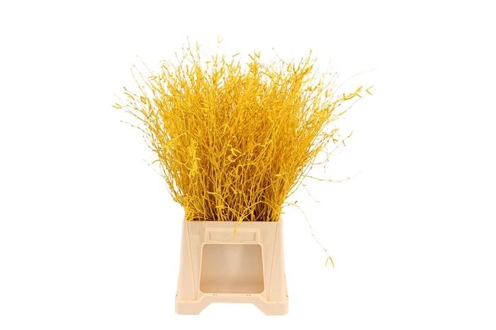 <h4>Berk ( Birch ) Yellow</h4>