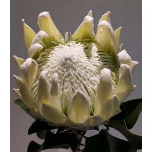 Protea Artic Ice