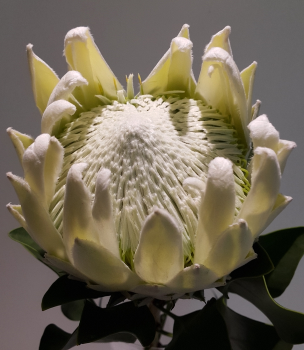 Protea Full Moon (small Artic Ice)