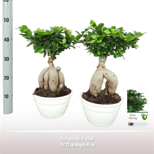 <h4>Ficus ginseng in schaal</h4>