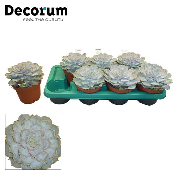<h4>Echeveria lilacina</h4>