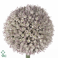 Allium Ampeloprasum Pink