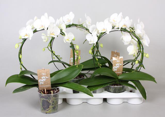 <h4>Phalaenopsis Wit arceau</h4>