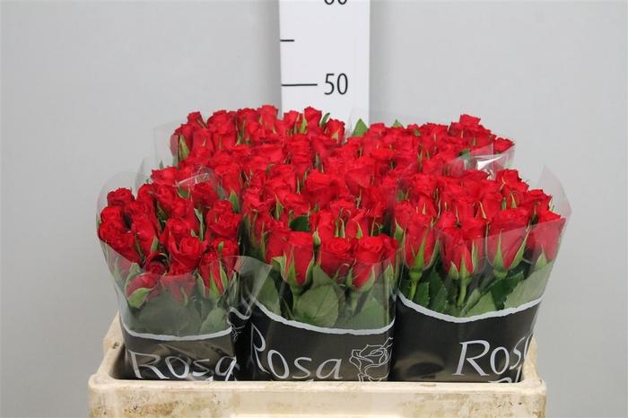 <h4>R Kl Red Calypso</h4>