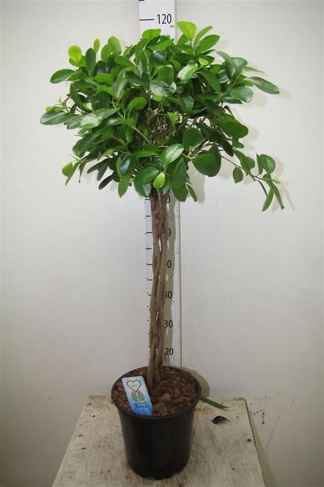 <h4>Ficus Microcarpa Moclame</h4>