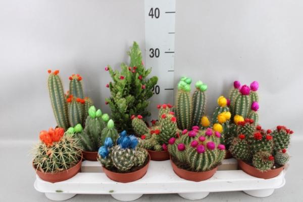 <h4>Cactus   ...decorated</h4>