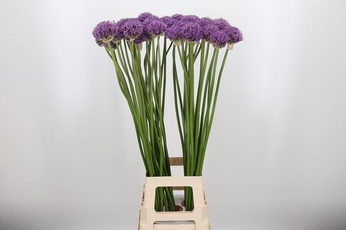 <h4>Allium Gladiator Zwaar !!!!!</h4>
