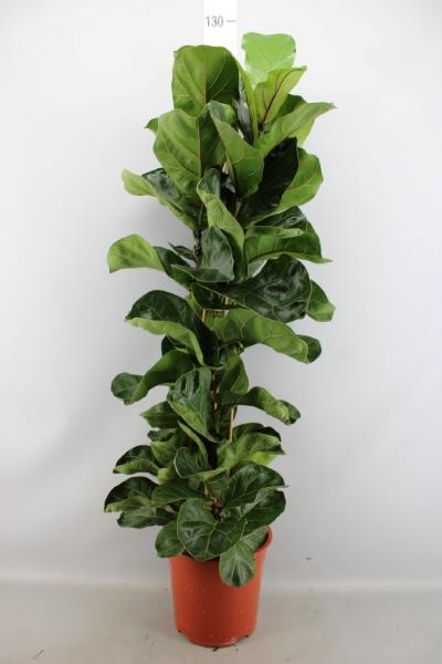 <h4>Ficus lyrata 'Bambino'</h4>