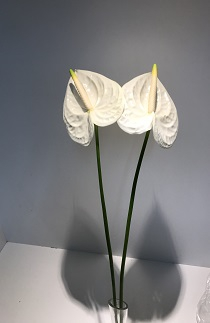 <h4>Anthurium White Medium</h4>