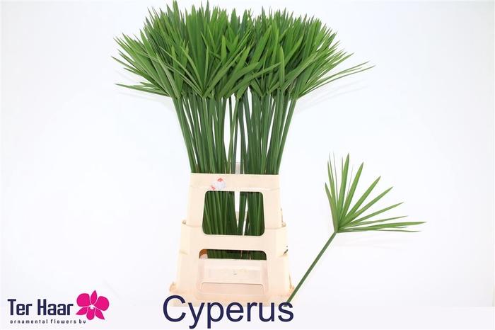 <h4>Cyperus Glaber</h4>
