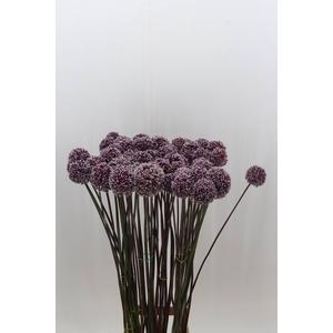 Allium Summer Drum