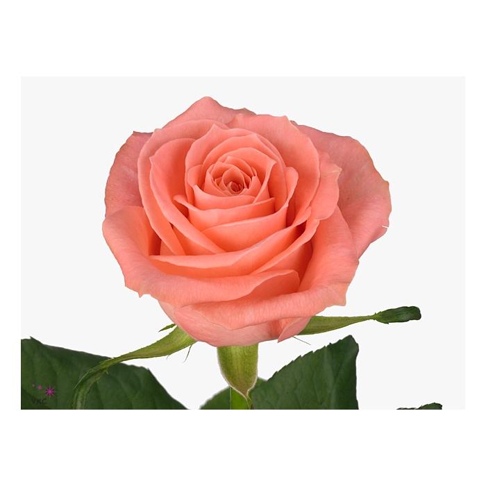 <h4>Rosa Gr. Karina!</h4>