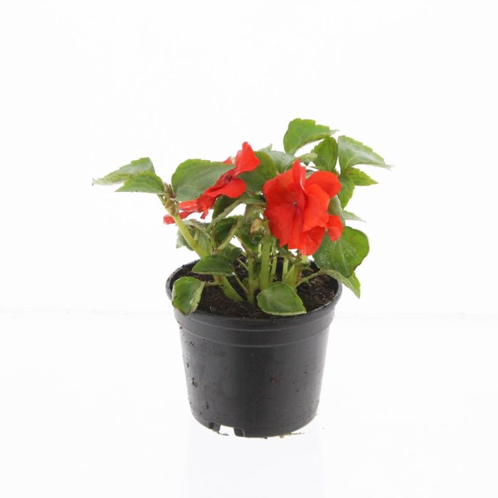 <h4>Impatiens wal. red</h4>
