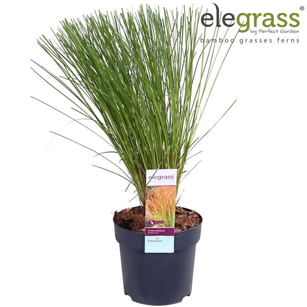 <h4>Carex testacea prairie fire - Elegrass</h4>