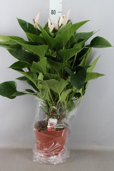 <h4>Anthurium  'Pr. Alexia Mozaiek'</h4>