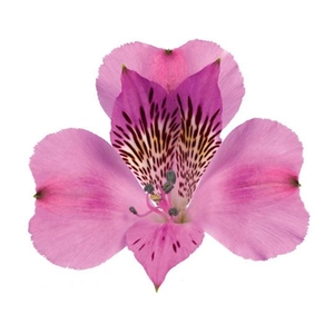 Alstroemeria rosa Fancy