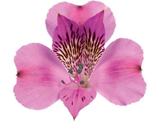Alstroemeria rosa Select