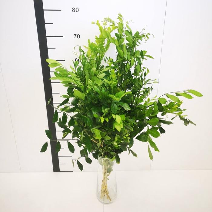 <h4>Murraya paniculata</h4>