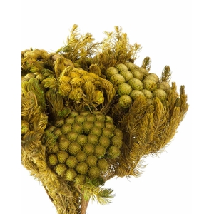 Brunia yellow green stabi