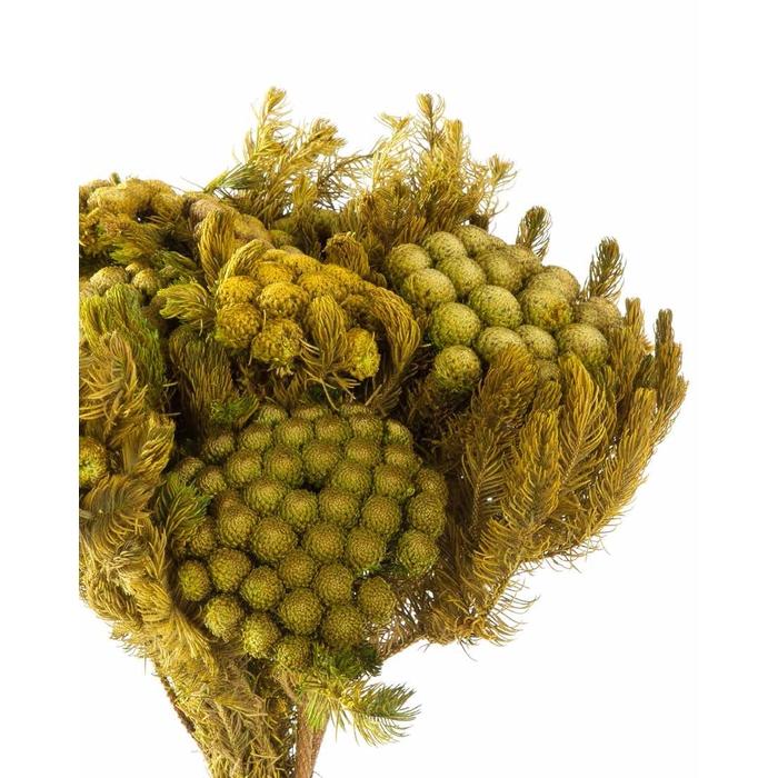 <h4>Brunia yellow green stabi</h4>