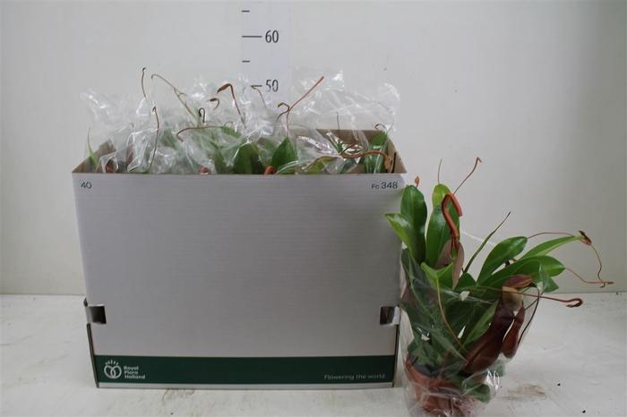 <h4>Nepenthes Alata Hang</h4>