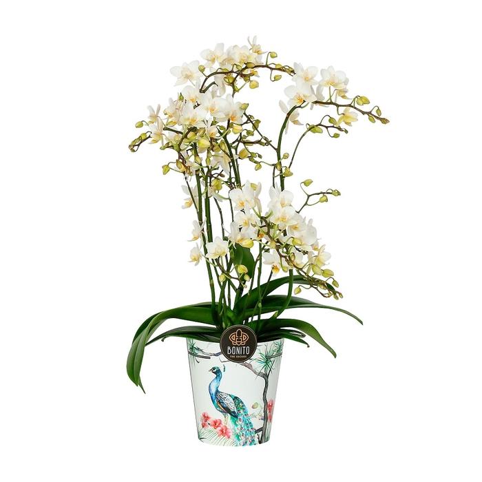 <h4>Phalaenopsis mf. Soft Cloud</h4>