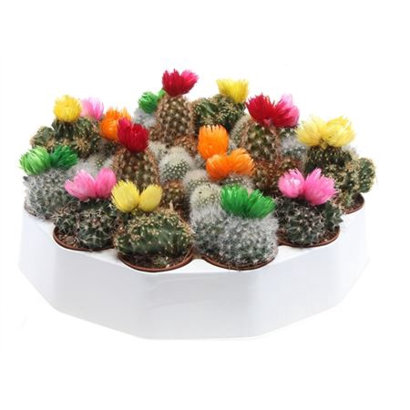 <h4>Cactus Gemengd Strobloem</h4>