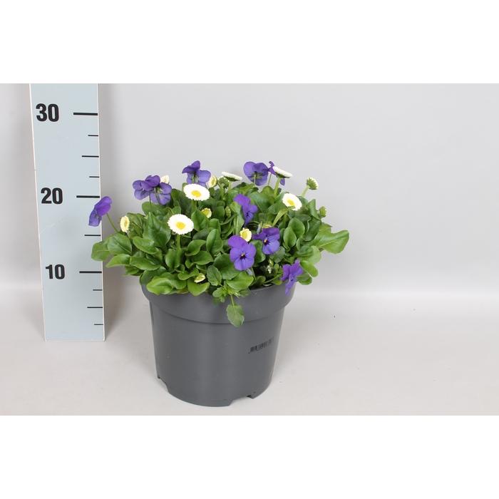 <h4>Viola Bellis 19 cm mix Blue White</h4>