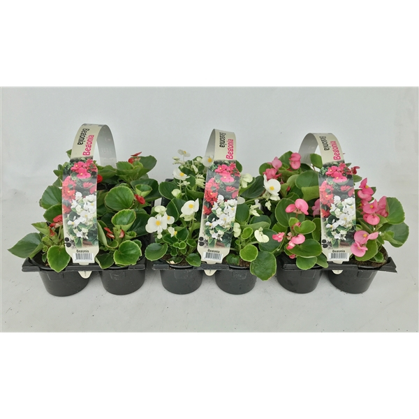 <h4>Begonia Semperflorens diverse kleuren 6p</h4>