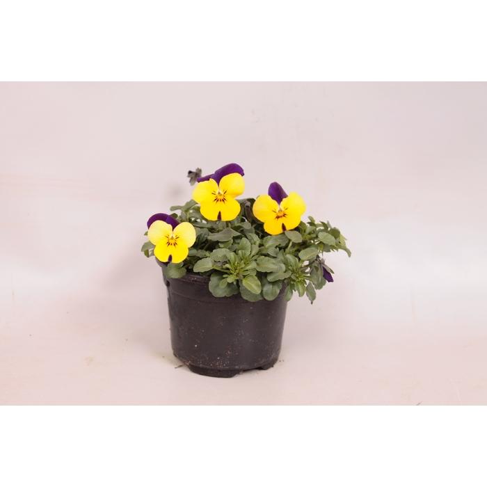 <h4>Viola cornuta sixpack F1 Yellow with purple wing imp.</h4>