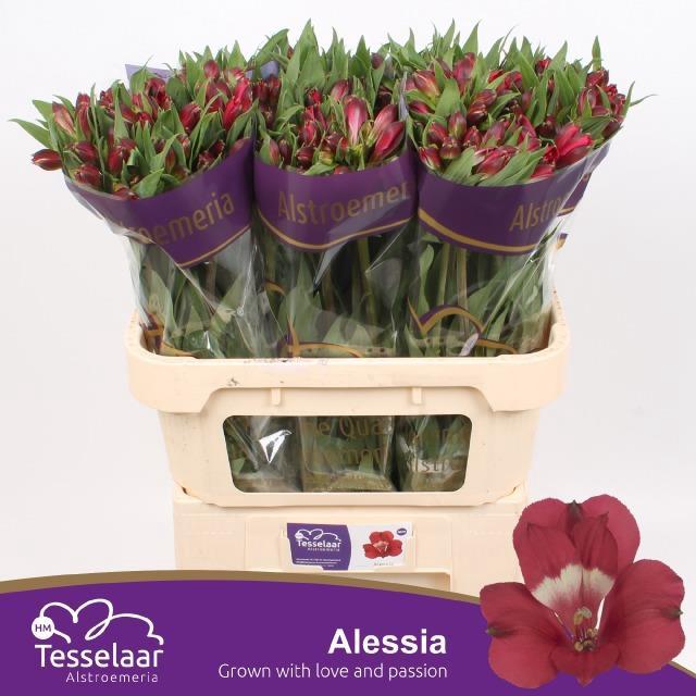 <h4>ALSTR ALESSIA</h4>