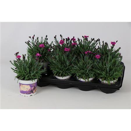 <h4>Dianthus Purple Wedding 12cm</h4>