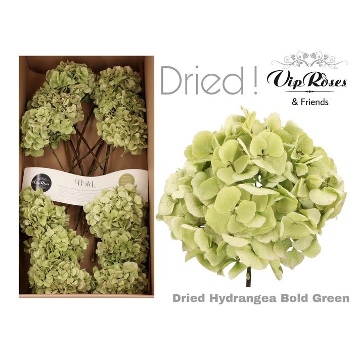 <h4>DRIED HYDRANGEA BOLD GREEN</h4>