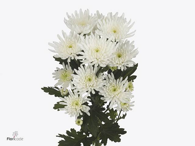 <h4>Chrysant T Topspin</h4>