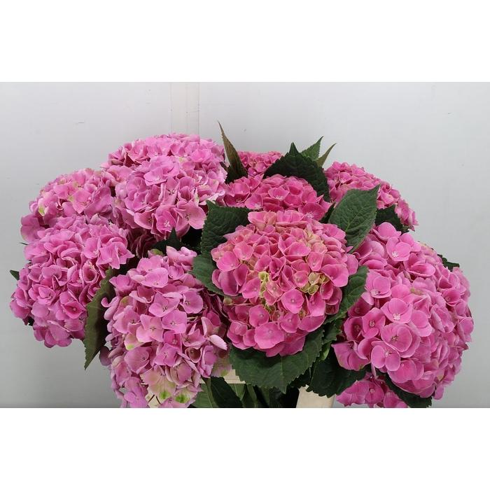 <h4>Hydr M Mag Amethyst Pink</h4>
