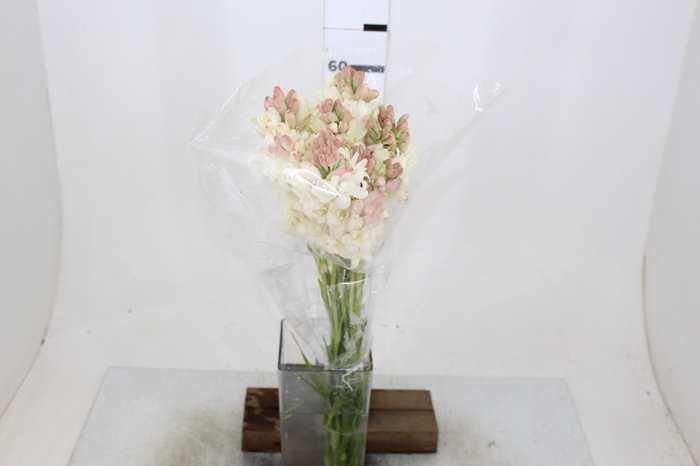 <h4>ANGELICA 060 CM</h4>