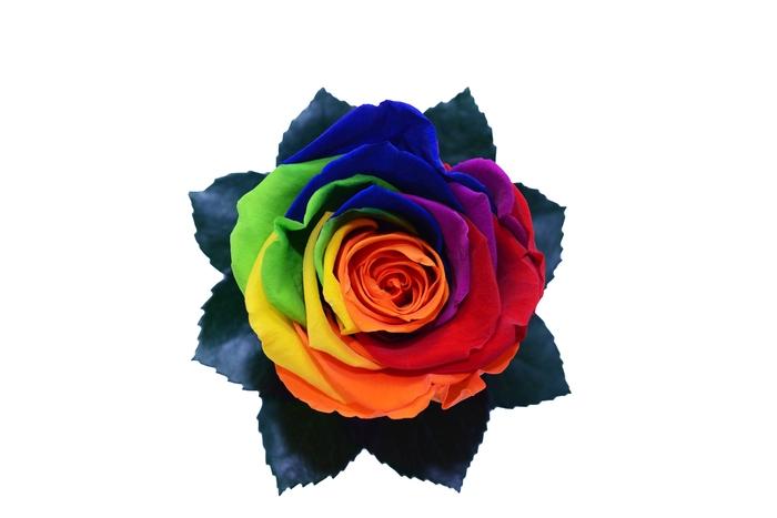 <h4>R PR Splendid Rainbow</h4>