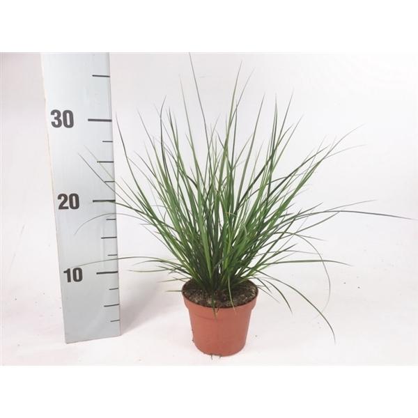 <h4>Carex brunnea (groen) p10,5</h4>