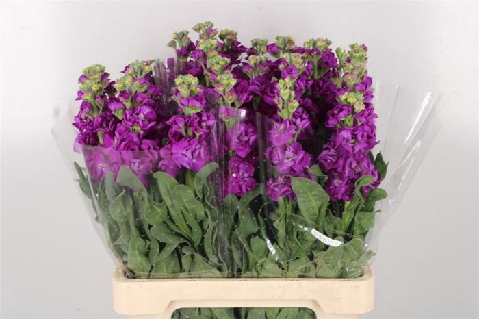 <h4>Matth Extra Iron Purple</h4>