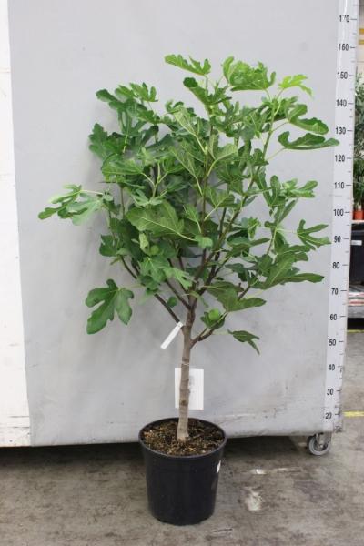 <h4>Ficus carica</h4>