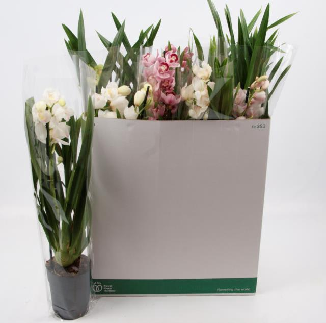 <h4>CYMBIDIUM GEM</h4>