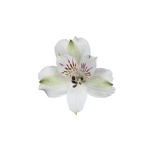 Alstroemeria blanca Fancy