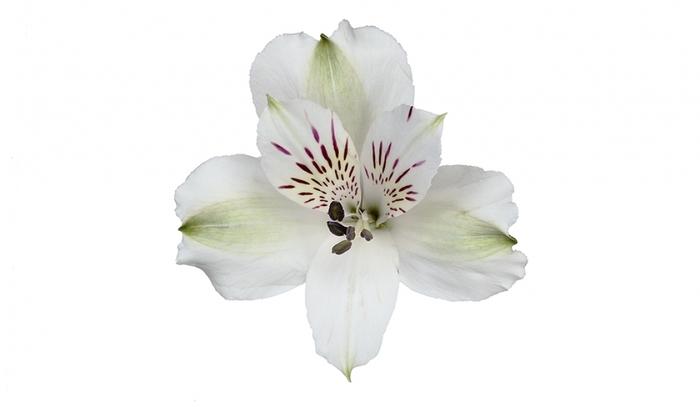 Alstroemeria blanca select