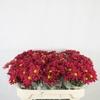 Chrysanthemum spray bacardi rojo
