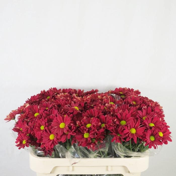 <h4>Chrysanthemum spray bacardi rojo</h4>